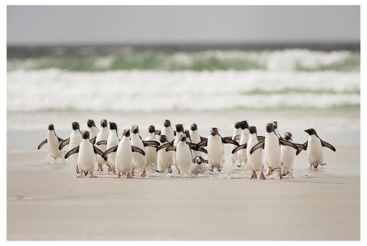 Affiche animaux pingouins Affiche seule